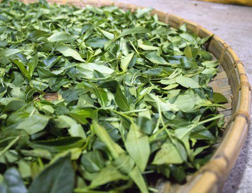 茶葉發酵與兒茶素關係
